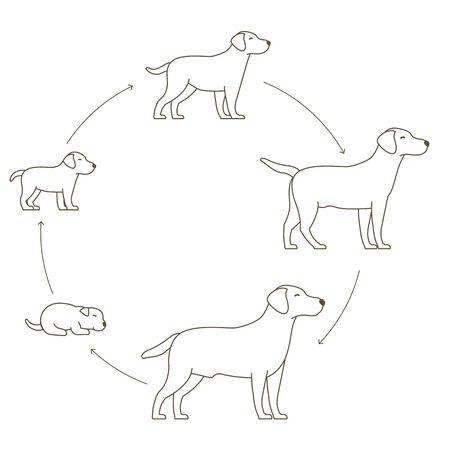 Fasi rotonde del set di crescita del cane. Dallo sviluppo del cucciolo allo sviluppo del cane adulto. Animali mammiferi animali domestici. Labrador retriever crescere progressione dell'animazione del cerchio. Ciclo di vita dell'animale domestico. Illustrazione di vettore di linea di contorno piatto contorno.