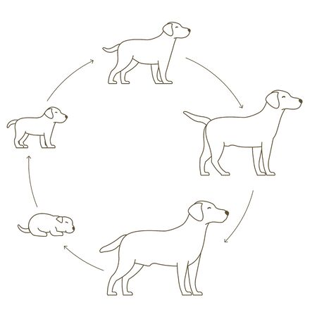 Round stages of dog growth set. From puppy to adult dog development. Animal mammals pets. Labrador retriever grow up circle animation progression. Pet life cycle. Flat Outline contour line vector illustration.