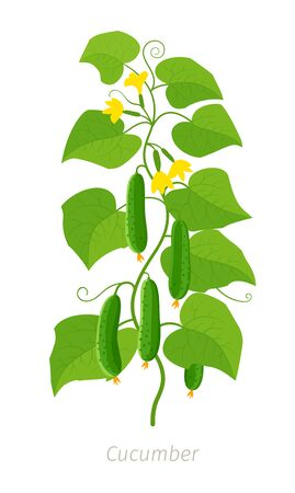 Cucumber plant. Vector illustration. Cucumis sativus. Agriculture cucumber. Green leaves. Flat color Illustration clipart on white background.