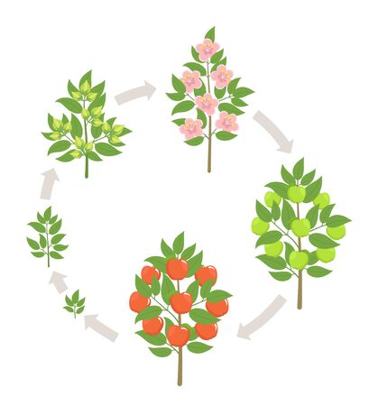 Apple tree growth stages. Vector illustration. Ripening period progression. Fruit tree life cycle animation plant seedling. Apple increase phases. 版權商用圖片 - 131814594