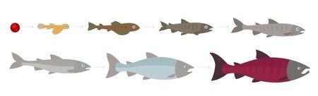 Lebenszyklus des Atlantischen Lachses. Stadien des Lachsfischwachstums eingestellt. Das Wachstum des Coho-Lachses vom Ei bis zum Braten. Sockeye Aquakultur wächst Animationsfortschritt. Vektorgrafik
