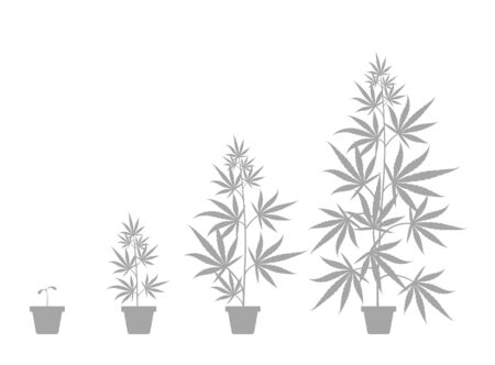 The Growth Cycle of cannabis sativa potted plant. Marijuana phases set. Hemp ripening period. The life stages. Weed growing. Infographic vector. Silhouette illustration. Medical cannabis in a pot.