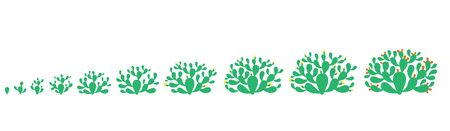 The life cycle of Opuntia cactus plant. Growth stages. Prickly pear phases set. Nopal ripening period. Indian fig opuntia growing. Vector Infographic illustration. Illustration