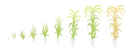 Etapas de crecimiento de la planta de arroz. El ciclo de vida de la agricultura. Fases de aumento de arroz. Oryza sativa. Periodo de maduración. Animación de progreso. Ilustración vectorial. Ilustración de vector