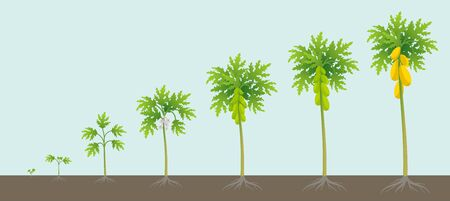 Papaya tree growing process. Papaw development stage. Ripening period vector infographic.