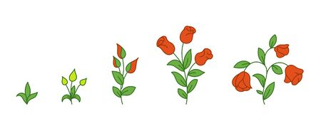 Red rose growth stages. Flowers plants development. Rose animation progression period. Flower shop. Vector infographic. Vectores