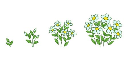 Chamomile flowers plants growth stages. Camomile development. Daisy animation progression period. Flower shop. Vector infographic.