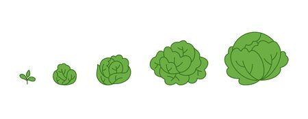 Cabbage plant. Growth stages. Ripening period. The life cycle of the Brassica. Animation progression development. Contour green line vector infographic clipart.