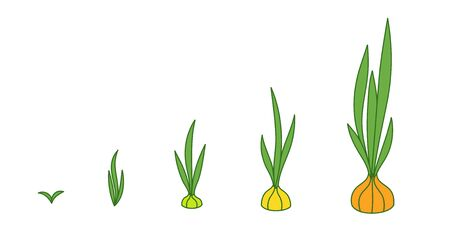 Onion plant. Growth stages. Ripening period. The life cycle of the shallot. Animation progression development. Contour green line vector infographic clipart.
