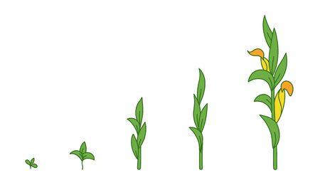 Maize plant. Growth stages. Ripening period. The life cycle of the corn. Animation progression development. Contour green line vector infographic clipart.