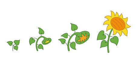 Sunflower plant. Growth stages. Ripening period. The life cycle of the helianthus. Animation progression development. Contour green line vector infographic clipart.