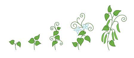 Plante de pois. Stades de croissance. Période de maturation. Le cycle de vie du Pisum sativum. Développement de la progression de l'animation. Contour vert ligne vecteur infographie clipart.