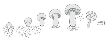 The life cycle of mushrooms. Stages of mushroom growth. Growing mycelium at home. Development stage animation progression. Ripening period vector infographic clipart.