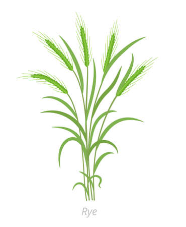 Rye plant. Bunch green grass. Secale cereale. Species of cereal grain. Cereal grain. Vector agricultural illustration. Agronomy. Vectores