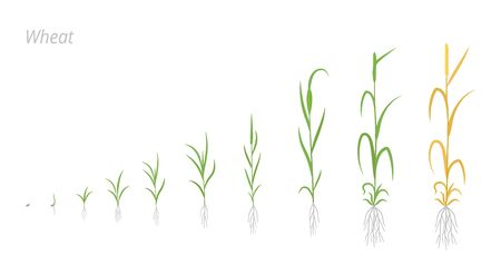 Wheat plant growth stages development. Triticum aestivum. Species of cereal grain. Harvest animation progression. Ripening period vector infographic. Agricultural clipart. Banco de Imagens - 150556273