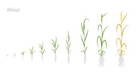 Wheat plant growth stages development. Triticum aestivum. Species of cereal grain. Harvest animation progression. Ripening period vector infographic. Agricultural clipart. Ilustração