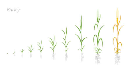Barley plant growth stages development. Hordeum vulgare. Species major cereal grain. Harvest animation progression. Ripening period vector infographic set. Agronomy cycle clipart.  イラスト・ベクター素材