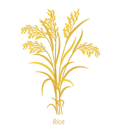 Rice plant. Bunch of orange ripe and dry grass. Oryza glaberrima. Oryza sativa. Cereal grain. Vector agricultural illustration. Agronomy clipart.  イラスト・ベクター素材