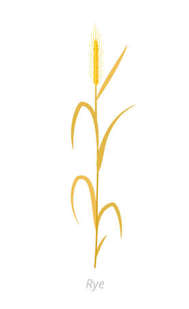 Rye plant. Orange ripe, dry straw. Secale cereale. Species of cereal grain. Cereal grain. Vector agricultural illustration. Agronomy clipart.