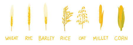 Different types of cereals. Cereal grain. Agronomy clipart. Vector infographic illustration.  イラスト・ベクター素材