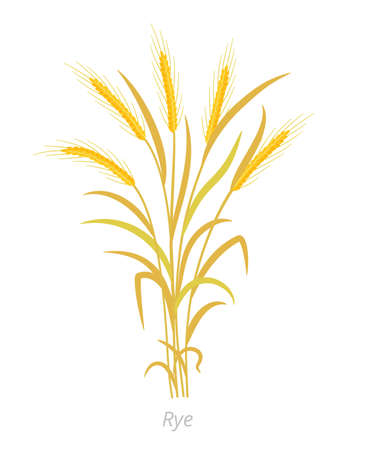 Rye plant. Bunch orange ripe, dry straw. Secale cereale. Species of cereal grain. Cereal grain. Vector agricultural illustration. Agronomy clipart.