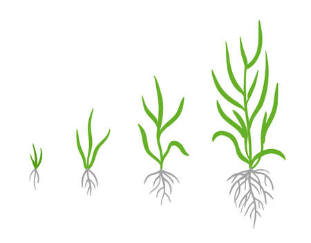 Grass growth stages. Vector infographic clipart. Hand drawn sketch clipart.