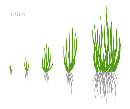 Grass growth stages. Grasses for green lawn. Ripening period. Vector infographic clipart. Hand drawn sketch clipart.  イラスト・ベクター素材