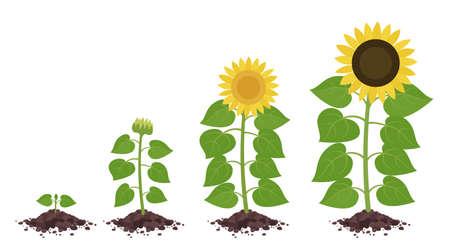 Sunflower growth stages. Agriculture plant development. Harvest animation progression. Vector illustration infographic set. Vetores