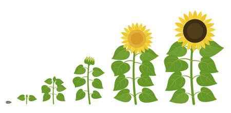 Sunflower growth stages. Agriculture plant development. Harvest animation progression. Vector illustration infographic set. Vecteurs