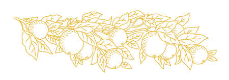 Branch of an orange tree. Leaves and fruits. Garden trees. Hand drawn sketch. Contour vector line. Horizontal banner.