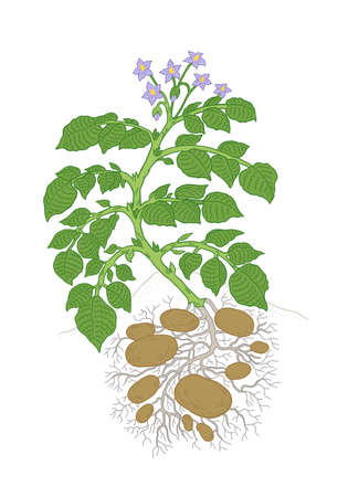 Potato plant. Growing spud. Harvest tubers potatoes growth In the soil. Vector agriculture illustration.