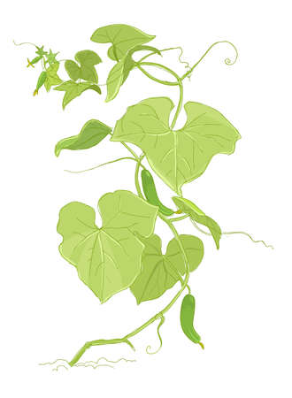 Cucumber plant colour sketch. Green leaves. One bush with fruits. Growing harvest. Vector agriculture illustration.
