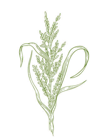 Rice plant hand drawn sketch. Oryza sativa. Agronomy cereal grain. Growing harvest. Vector agriculture illustration. Banque d'images - 156192946