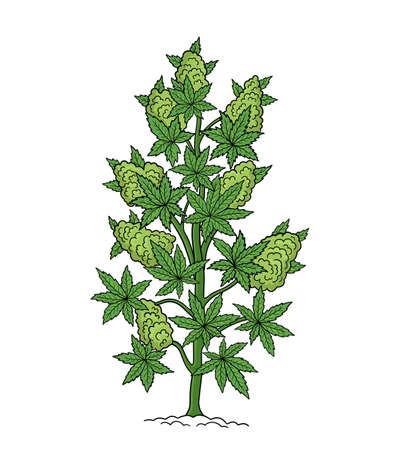 Hemp tree sketch. Cannabis indica. Cannabis ruderalis, or Chanvre, medicinal plant. Hand drawn botanical vector illustration. Illustration