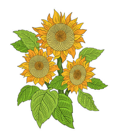 Sunflower drawing sketch. Bouquet of three flowers. Yellow with green leaves. Hand drawn color vector. Oil production. Agriculture plant harvest. Banque d'images - 156531571