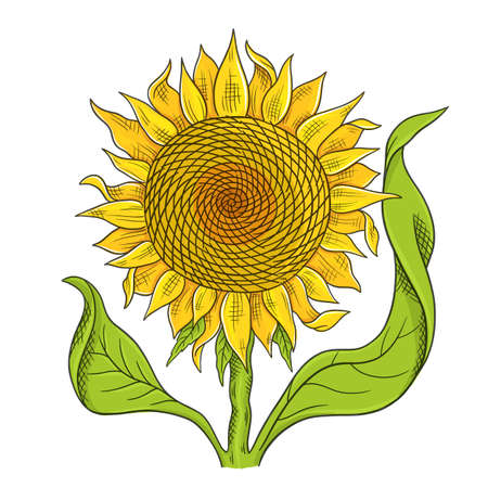 Sunflower drawing sketch. Yellow flower with green leaves. Hand drawn color vector. Oil production. Agriculture plant harvest. Banque d'images - 156531574
