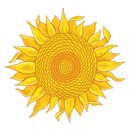 Sunflower drawing sketch. Yellow flowering plant with leaves. Hand drawn colorful vector. Oil production. Agriculture plant harvest.