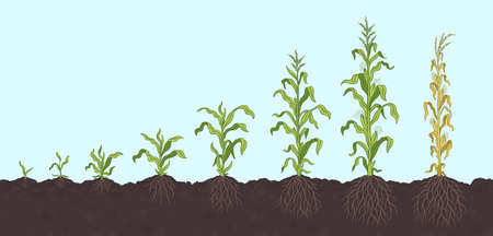 Growth stages of Maize plant. Corn development phases. Zea mays. Ripening period. On the soil, with roots. The life cycle. Infographic set. Harvest animation progression. Vector.