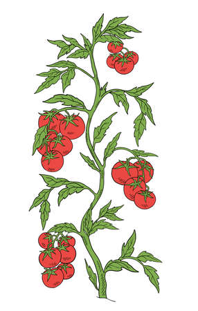 Tomato vegetable plant. Solanum lycopersicum. Vector hand drawn color sketch. Green leaves. Brightly red colored fruits. Fat bush. Vettoriali