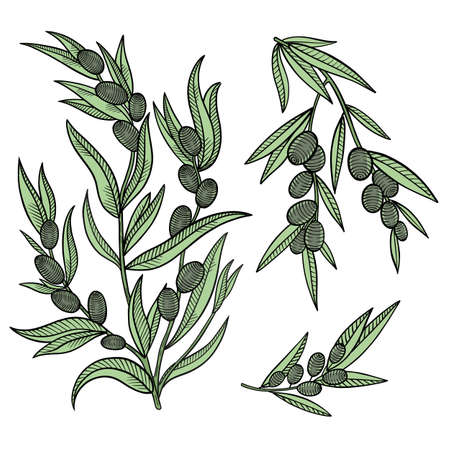 Olive tree branches. Leaves and fruits. Engraved colored vector.