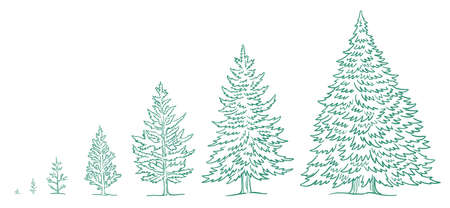 Christmas tree growth stages. Size choice. Infographic set. The life cycle. New year fir-tree. Hand drawn vector sketch. Conifer spruce plant development. Animation progression.