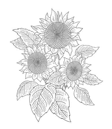 Sunflower bouquet drawing sketch. Three flowers with leaves. Agriculture plant harvest. Hand drawn black and white outline line vector.