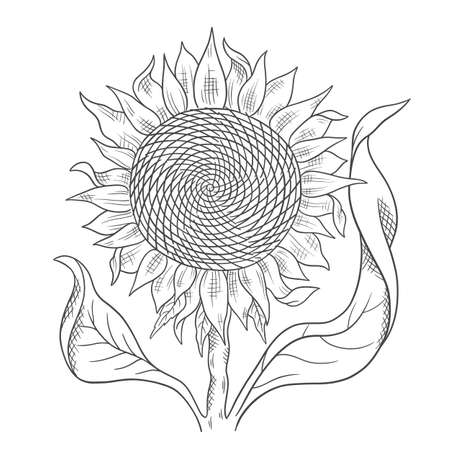 Sunflower drawing sketch. Flower with leaves. Oil production. Agriculture plant harvest. Hand drawn black and white outline line vector.
