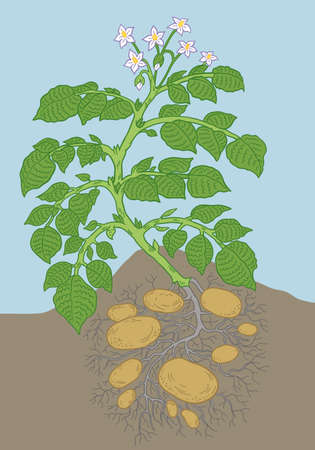 Potato vegetable plant. Soil and roots. Growing spud. Harvest tubers potatoes growth. Vector agriculture illustration. Vettoriali
