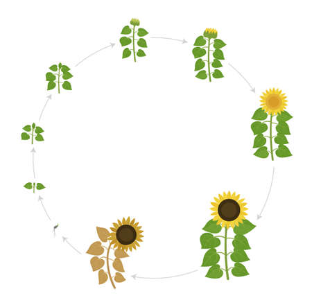 Sunflower growth stages. Round live cycle. Agriculture plant development. Harvest animation progression. Vector illustration infographic set.