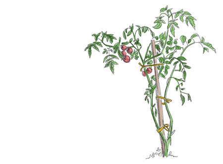 Tomato vegetable plant. Bush tied to a wooden stick. Solanum lycopersicum. Vector hand drawn color sketch.