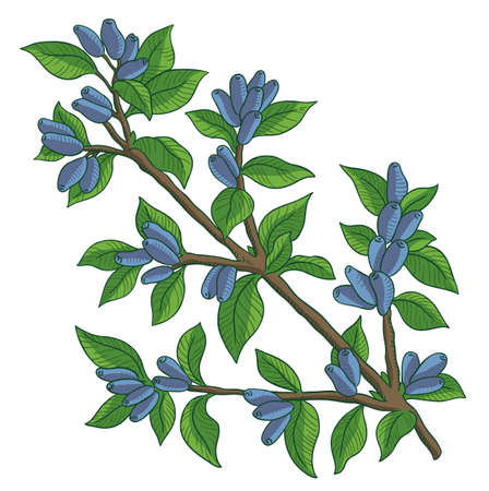 Haskap berries and leaves. Blue sweetberry honeysuckle branch. Lonicera caerulea. Ripe plant. Hand drawn color sketch. Vector illustration.