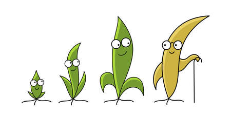 Seedlings mascot. From young to old age. Plant growth size stages. Agricultural character. Ripening shoots period. Vector infographic.