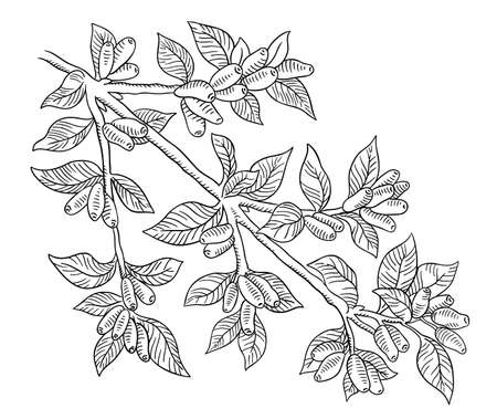 Haskap berries and leaves. Branch of plant. Sweetberry honeysuckle. Lonicera caerulea. Hand drawn line sketch. Vector illustration.  イラスト・ベクター素材