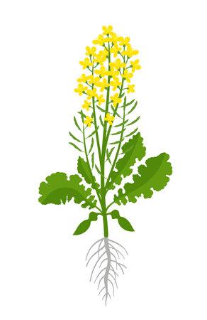 Rapeseed oil seed.  Vector Illustration.